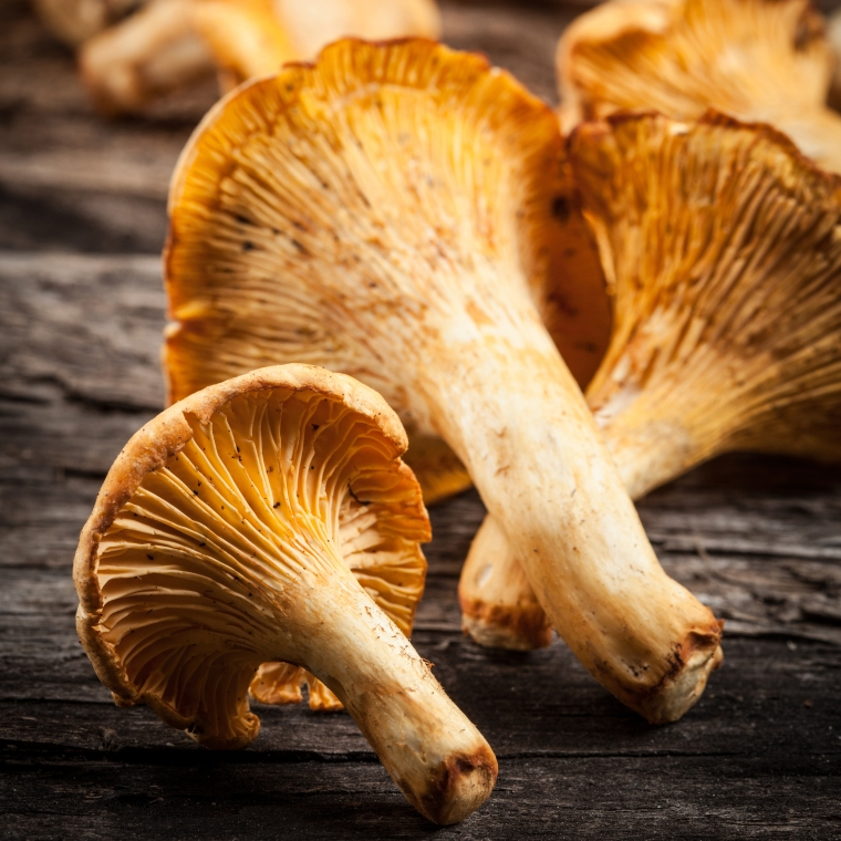 Fresh chanterelle mushrooms on a wooden table